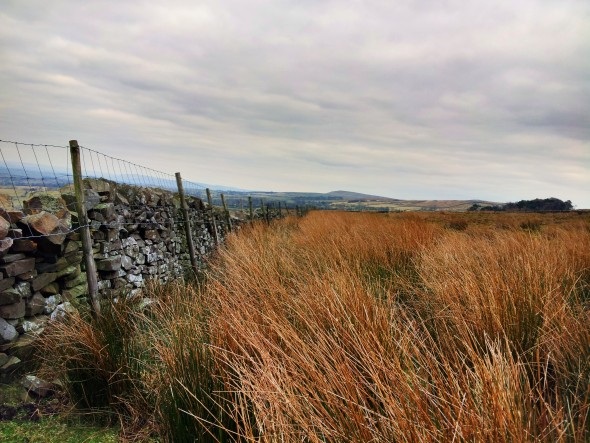 Reed beds and dry stone wall below Pendle.
